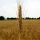Делегация из китая заинтересовалась пшеницей ставрополья