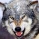 В центре Ставрополя горожане наткнулись на злого волка