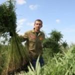 В районах Ставропольского края выявлены факты культивирования кустов конопли…