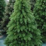 Цены на елки не будут отличаться от прошлого года.